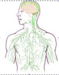 Brain lympahatic system