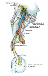 Ventral vagus to larynx stomach